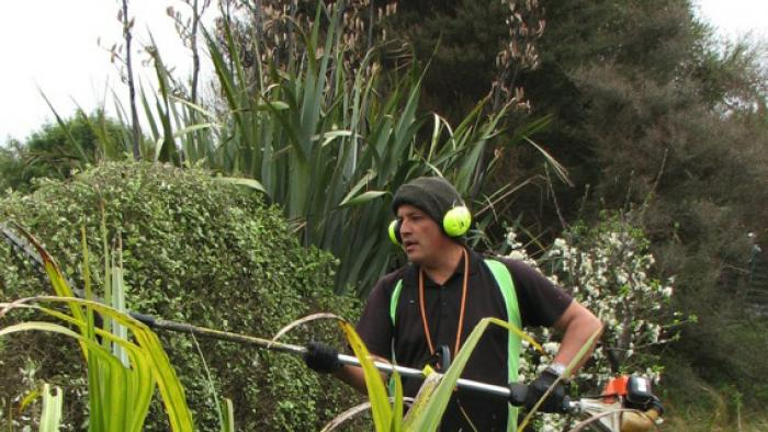 Professional gardener trimming a garden hedge with a power trimmer